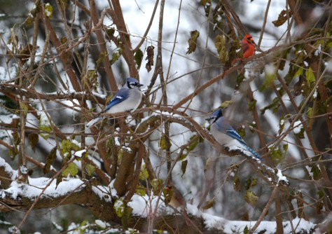 Blue Jays and Northern Cardinals