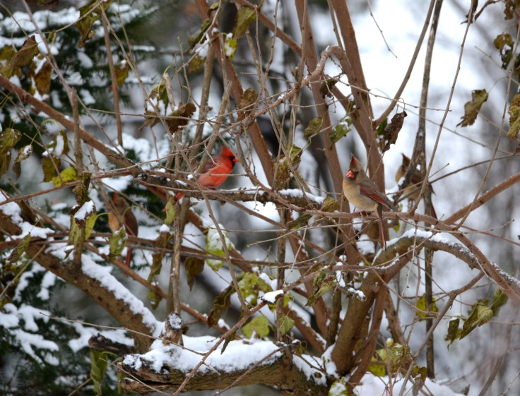 Four Northern Cardinals wait their turn for the feeder
