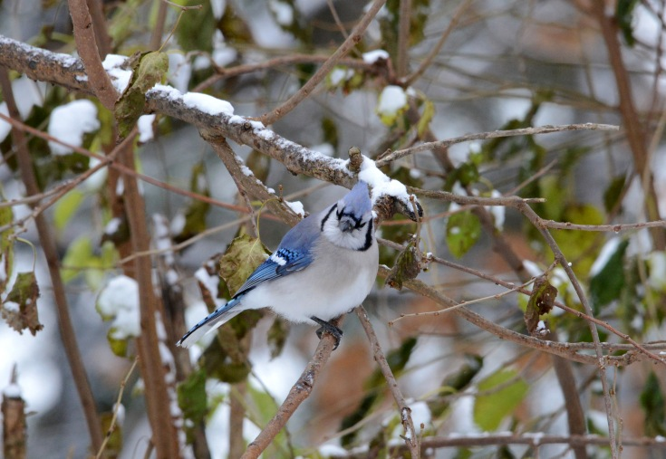 A Blue Jay puffs up against the wind