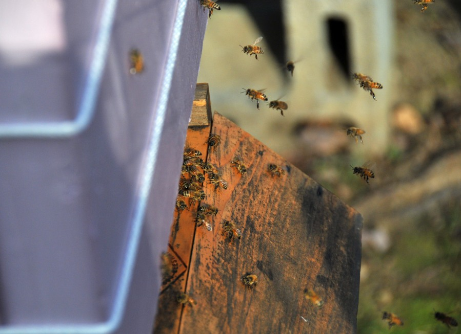 Bees from the second hive came out to do cleaning today since the weather is a little bit warmer.