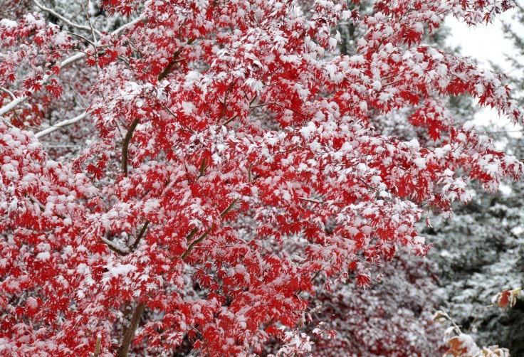Snow on Japanese maple
