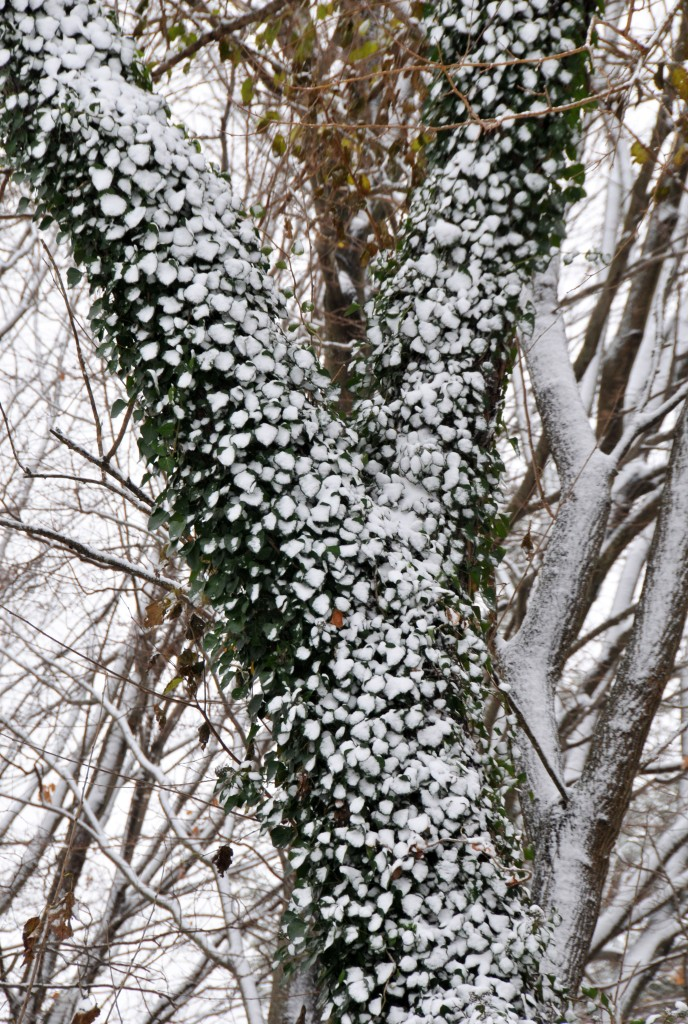 Ivy on a wild cherry tree looks becoming frosted with snow