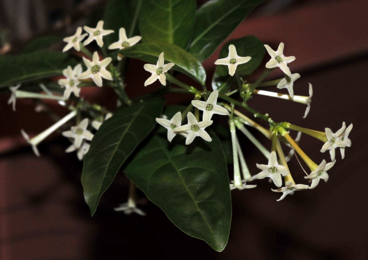 Night Blooming jasmines continue to bloom