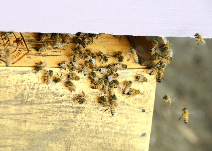 Bees at the second hive either stay on the landing board cleaning themselves or fly in and out.