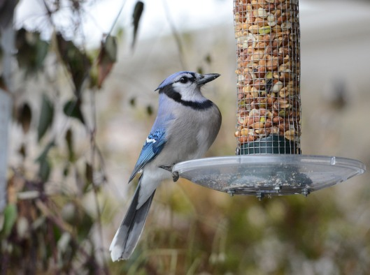 A daring Blue Jay swooped pass me to the feeder a couple of feet away.