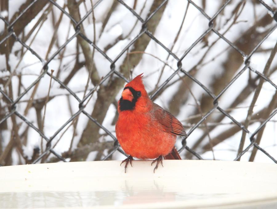 A male Northern Cardinal enjoys fresh water and warm air raising from the heated bird bath