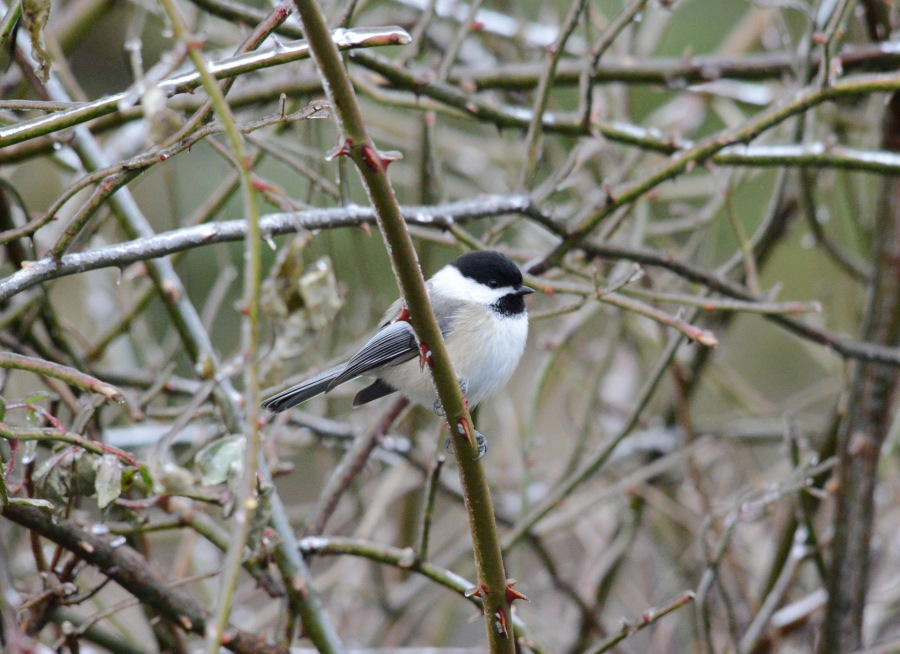 Black-capped Chickadee taking cover in a rose bush
