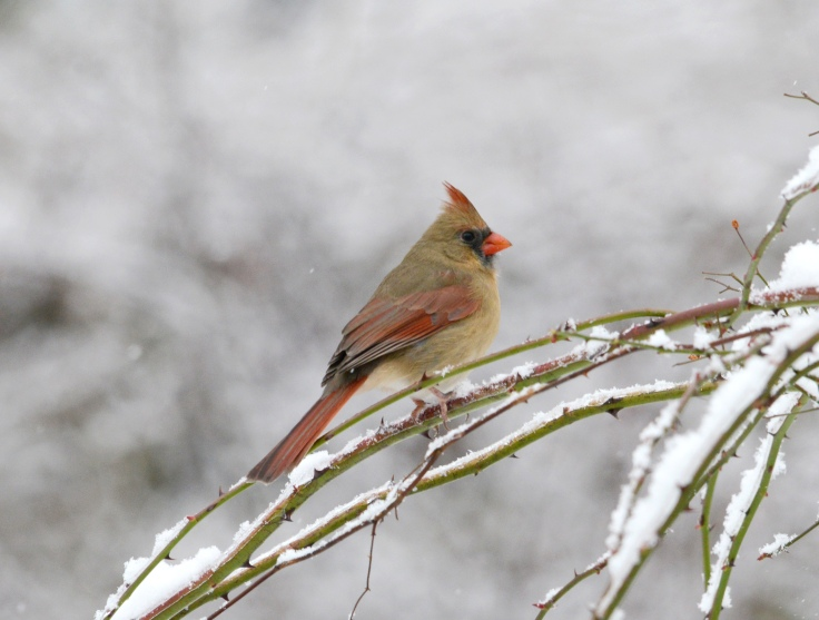 Female Northern Cardinal waits patiently on a rose branch for her turn at the feeder