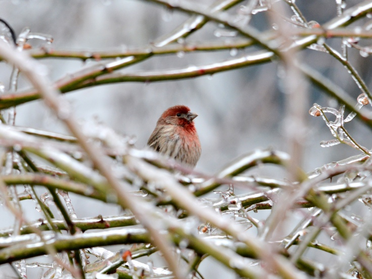A male House finch on an ice-covered rose branch