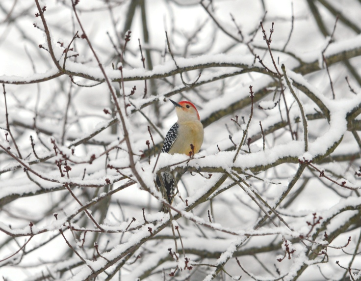 A male Red-bellied woodpecker waiting for his turn at the suet