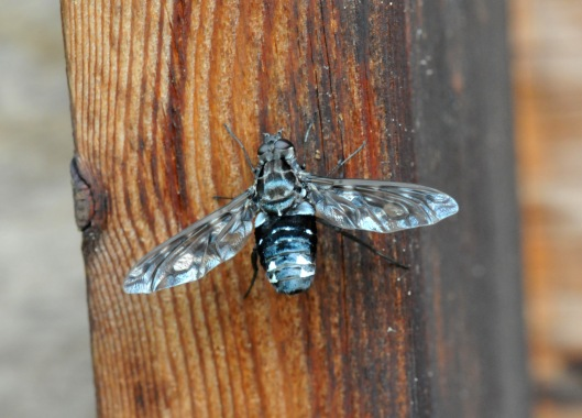 I saw this Bee fly because I had a dead Carpenter bee pupae drop on me while I was on the patio