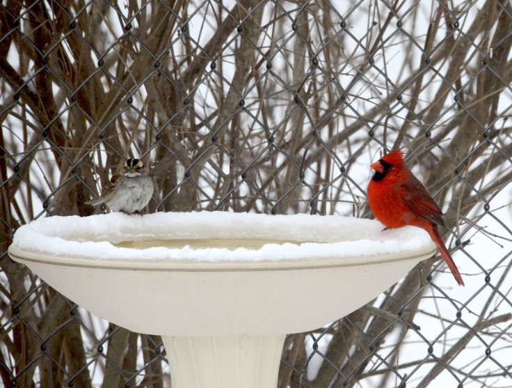A male Northern Cardinal and a White-throated Sparrow enjoy a margarita together