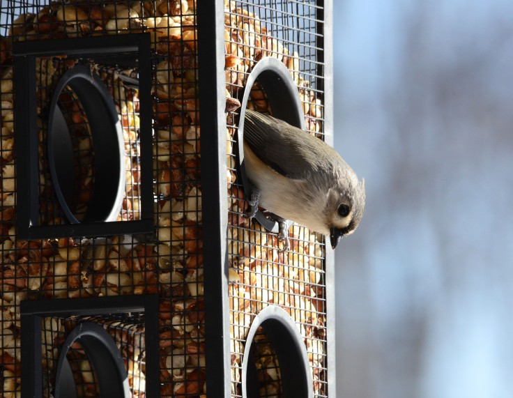Tufted titmouse at one of the feeders