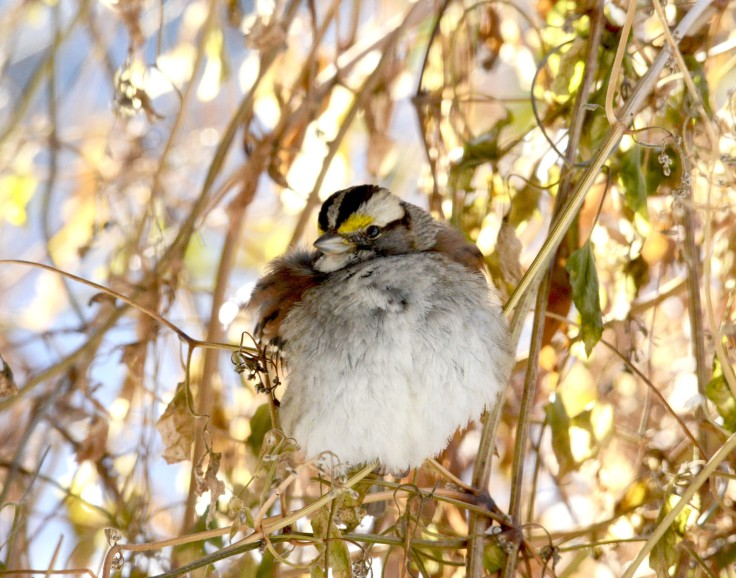 A White-throated Sparrow taking refuge in an Autumn Sweet clematis