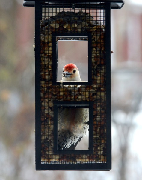 A male Red-bellied Woodpecker came by and stayed for a while