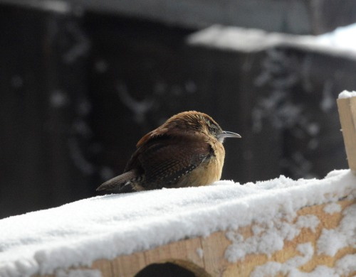Carolina Wren also puffed his feathers up into a little ball against the cold wind