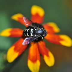 Cuckoo bee resting on Rudbeckia 'Prairie Glow'