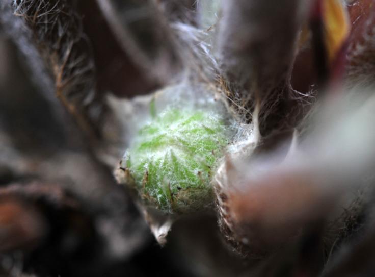 A new Gerbera flower bud