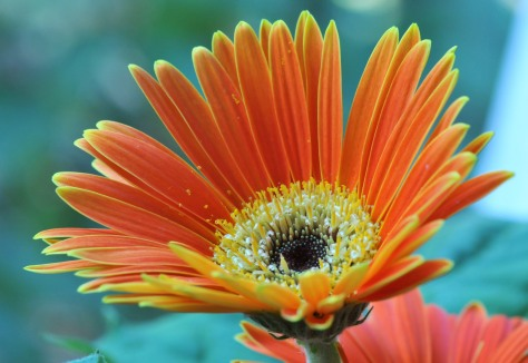 Gerbera by the bay window