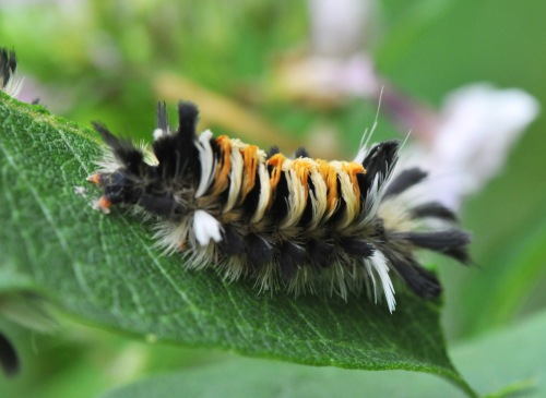 Milkweed Tussock caterpillar is also commonly seen on the plant