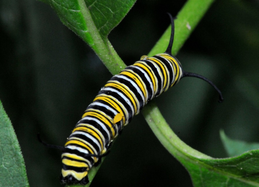 Monarch caterpillar with a hitchhiker Aphid