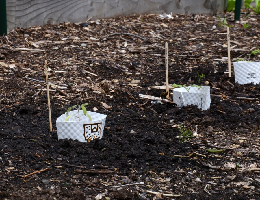 A whole row of coffee sleeves around tomato seedlings