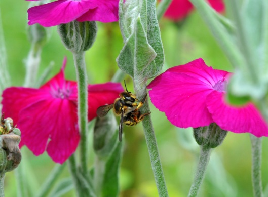 Wool Carder bee scraping the hair off a Rose Campion's stem