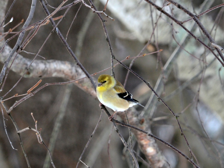 American Goldfinch starting to show a bright yellow color