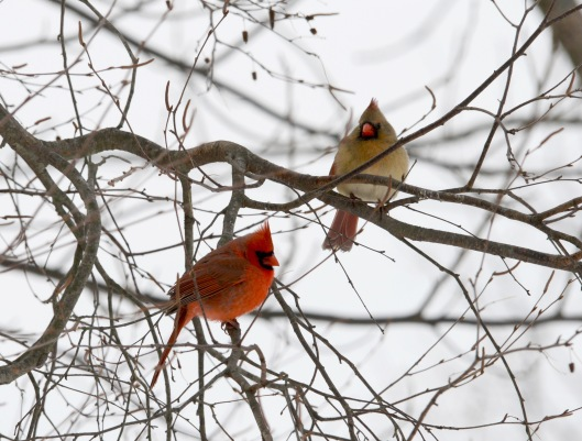 A male Cardinal staying close to the female