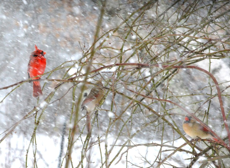 Northern Cardinals waiting for their turns at the feeder