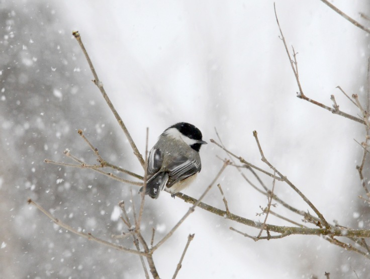 A Chickadee resting under heavy snow fall