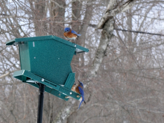 A flock of Eastern Bluebirds at one of the feeders