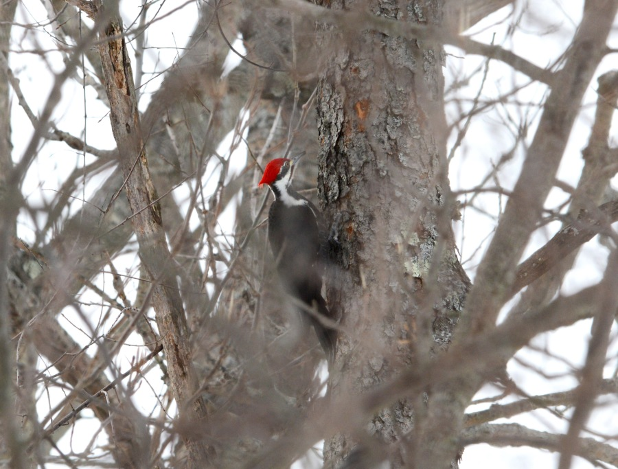 A Pileated Woodpecker also joined the garden party today