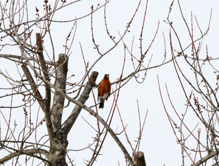 Slightly disheveled looking Robin in a tree top