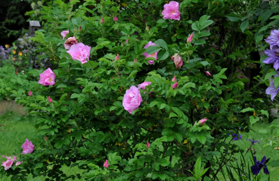 Rugosa 'Foxi' produce fragrant flowers in abundance from late spring to fall.