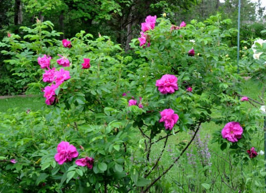 Rugosa 'Hansa' is a fast grower and once it blooms it won't stop blooming until fall