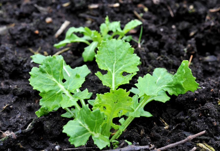 Broccoli raab in the cold frame