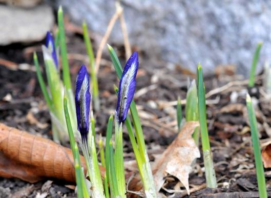 Dwarf iris 'Harmony'
