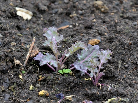 Kale seedling from last winter