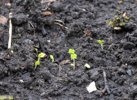 Pac Choi seedlings from seeds sown a week ago