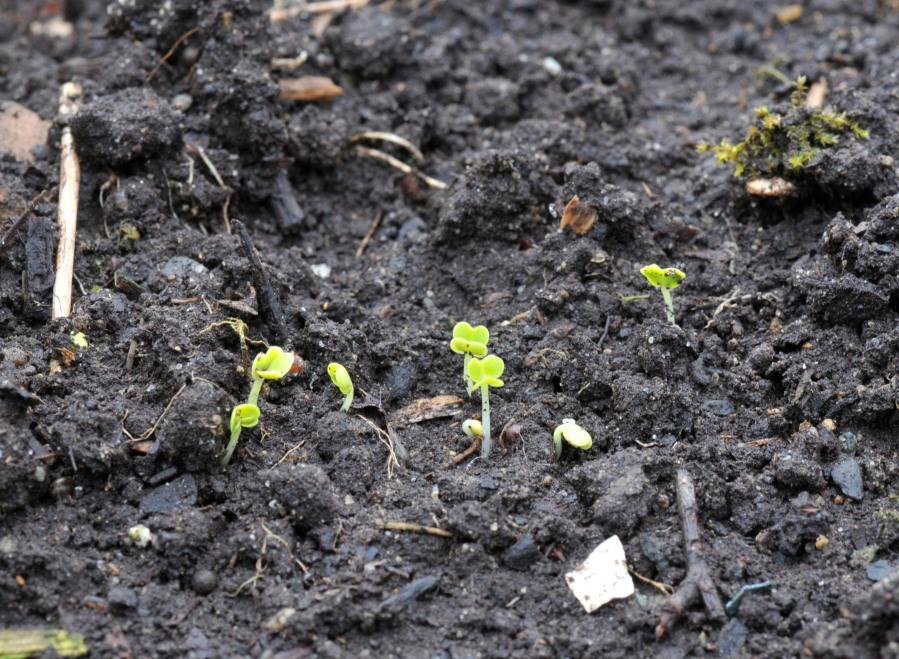 Pac Choi seedlings from seeds sown a week ago