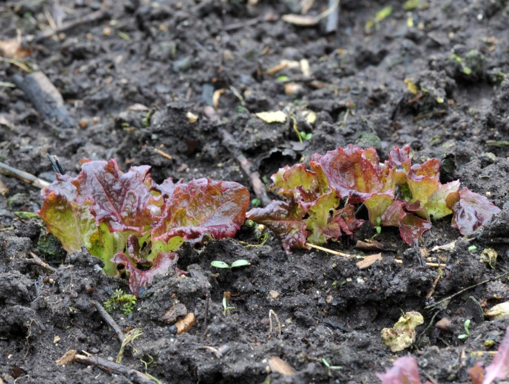 To my surprise, some Red leaf lettuce also alive in there