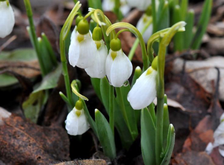 Snowdrops enjoy spring rain