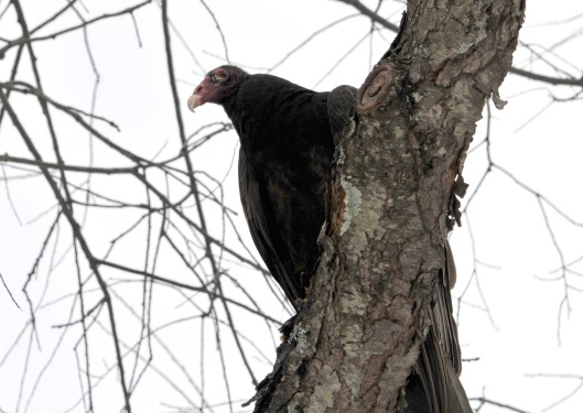 Turkey Vulture waiting to come down for his rabbit