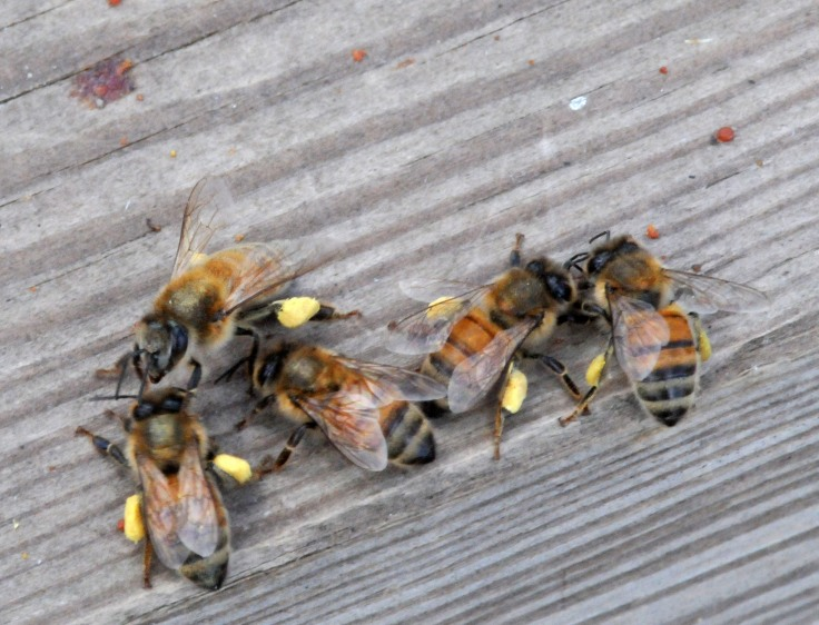 Confused bees back from gathering pollen, try to find out where their hive has gone
