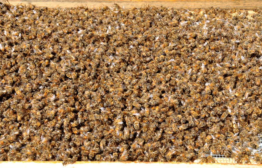 Dead bees on the bottom board