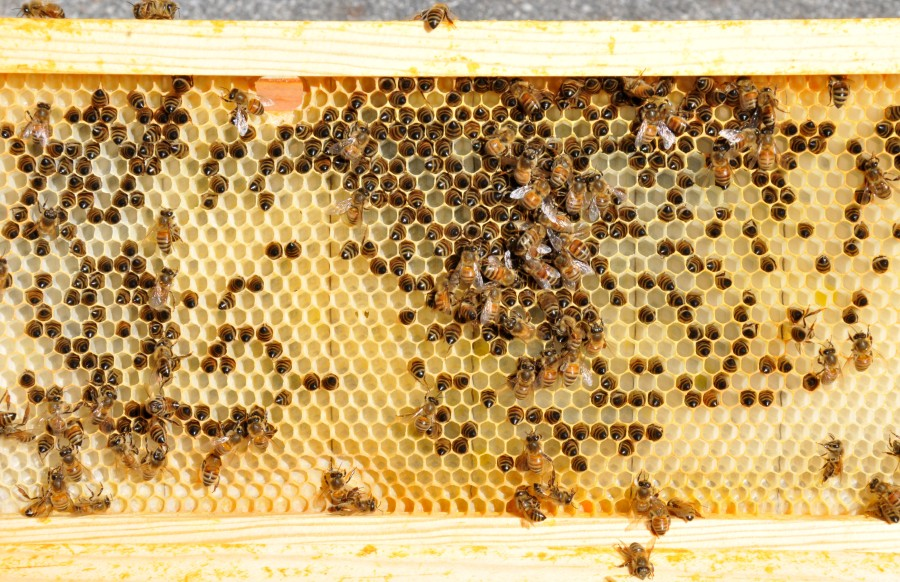 Comb with bees in the cells