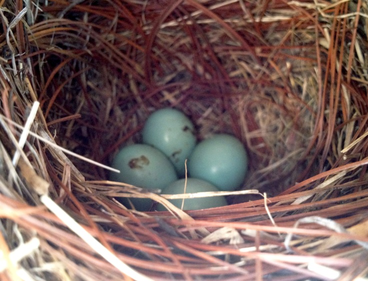 Four beautiful blue eggs. Image taken with an iPhone.