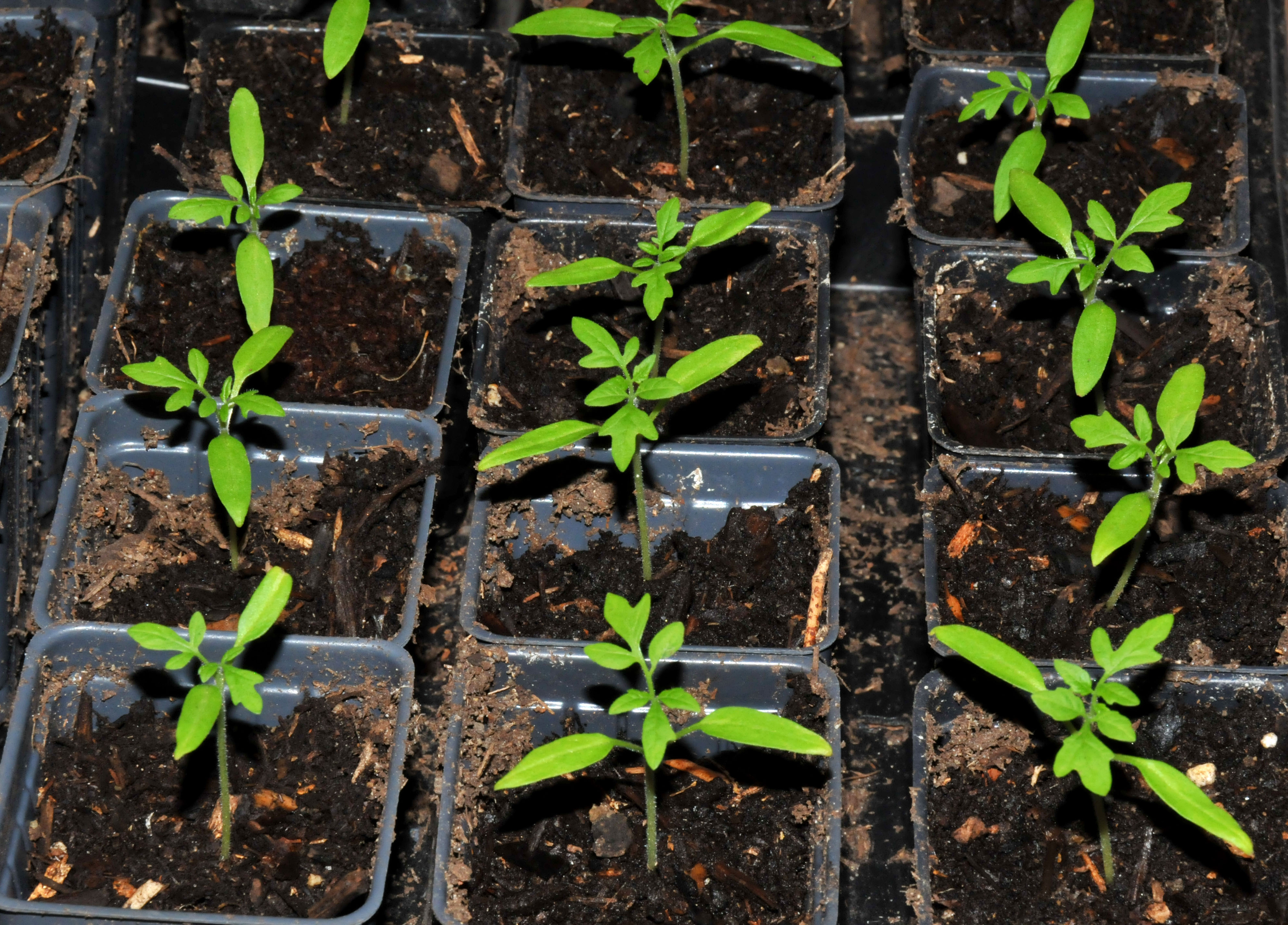 Started seedlings petals and wings for How to grow cherry tomatoes from seeds