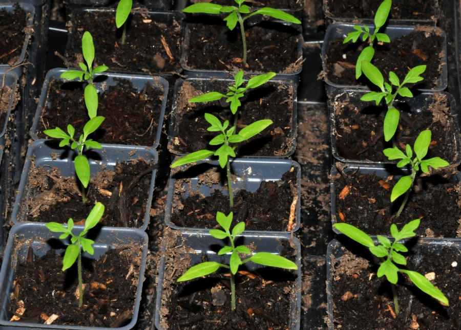 """Gold Nuggets"" cherry tomato seedlings"